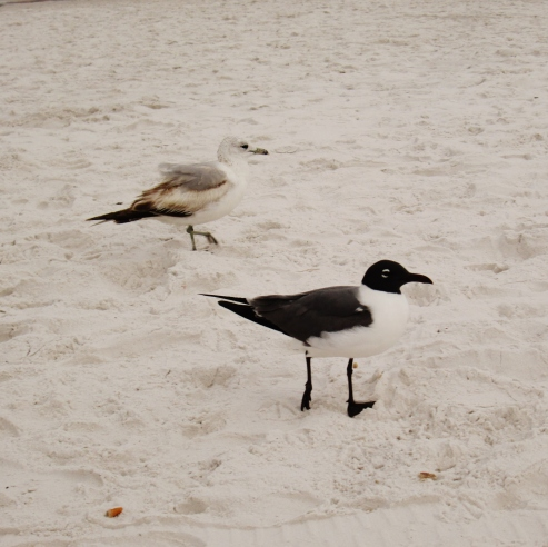 Some of the seagulls that were chilling by our beach towels